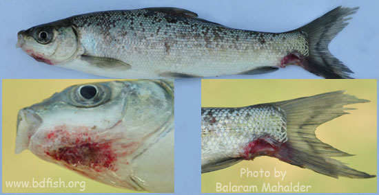 Photofeature: EUS disease affected fishes of haor area ...