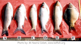 Stocked fish species of the Baluhar Baor