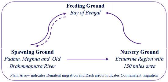 Migratory Pattern Route And Abundance Of Hilsa Shad Tenualosa