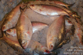 Hilsa shad (Tenualosa ilisha): The national fish of Bangladesh