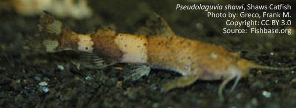 Pseudolaguvia shawi, Shaws Catfish