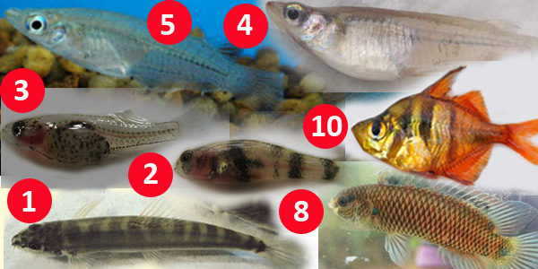 Top Ten Smallest Fishes of Bangladesh