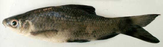 Black rohu: Labeo calbasu