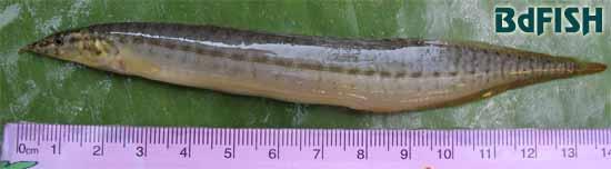 Striped Spiny Eel: Mastacembelus pancalus