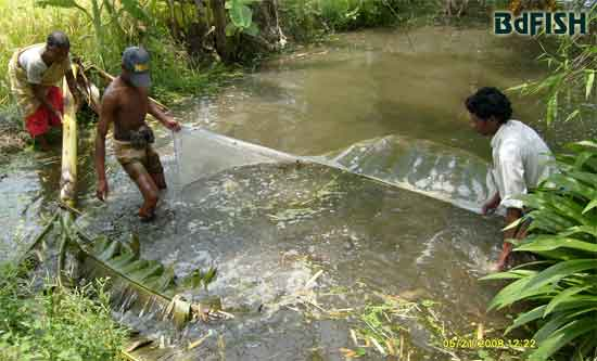 Sampling of the cultured fishes in the rice-fish plot