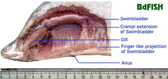 Dissected photo of Notopterus chitala showing the air-breathing swimbladder