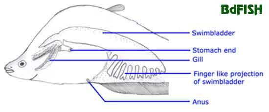 Sketch of an air-breathing swimbladder of Notopterus chitala