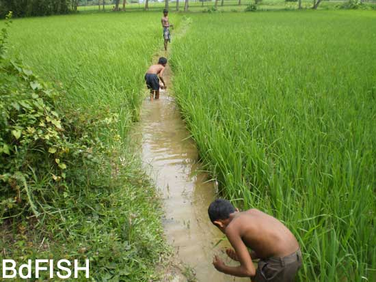 Fishing using Koi jal from flooded rice fields: 01