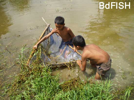 Fishing using Thela jal from ditches: 02