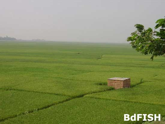 Wetland continuously converted into rice field over the years in the Chalan beel; Location: Tarash, Sirajgonj