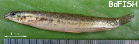 Guntea loach: Lepidocephalichthys guntea