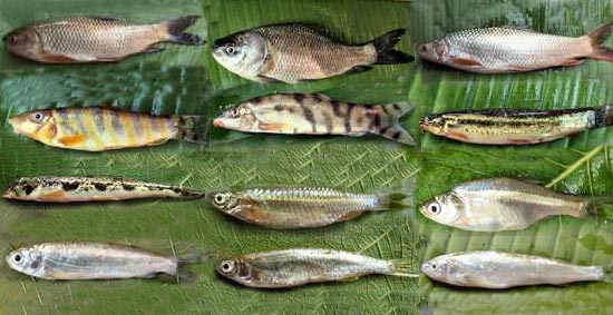 Fishes of Cypriniformes