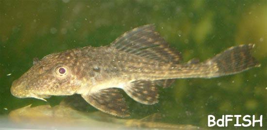 Sucker Mouth Catfish: Hypostomus plecostomus