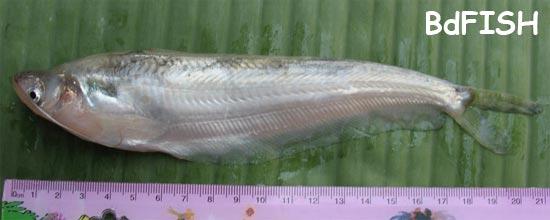 Kani Pabda, Butter catfish, Ompok bimaculatus