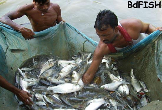 Harvested carp and prawn