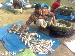 Traditional method of packing of fishes