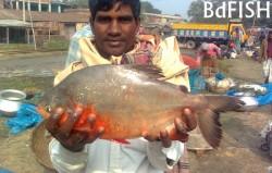 Red Piranha: a harmful exotic fish in Bangladesh
