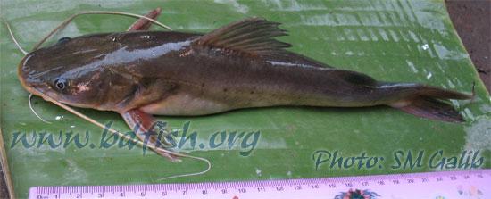 Menoda catfish: Hemibagrus menoda