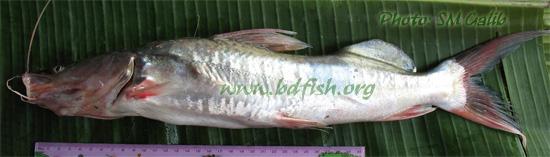 Giant river catfish, Sperata seenghala