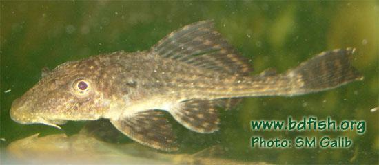 Suckermouth catfish, Hypostomus plecostomus