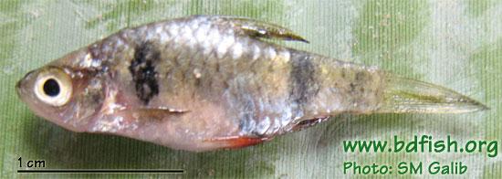 Spottedsail barb: Puntius phutunio