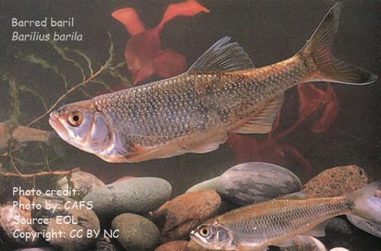 Barilius barila, one of the Data Deficient (DD) Freshwater Fishes of Bangladesh