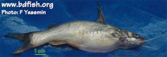 Long whiskers catfish: Mystus gulio