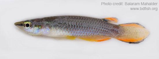 Aplocheilus panchax