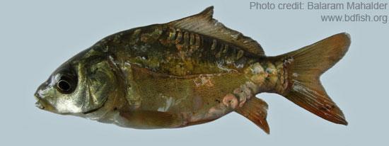 Cyprinus carpio var. specularis