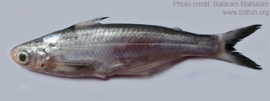 Eytropiichthys murius