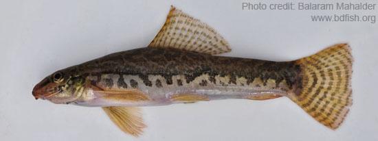বালিচাটা, Mottled loach, Acanthocobitis botia