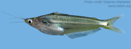 Pseudeutropius atherinoides