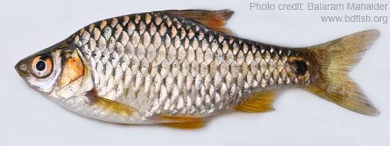 জাত পুঁটি, Spot-fin swamp barb