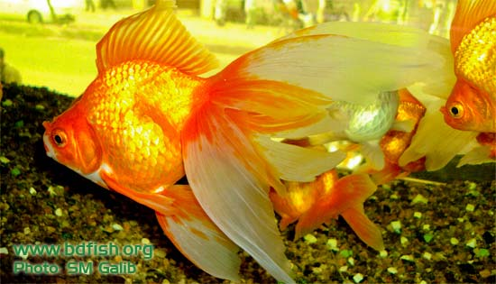 Past And Present Status And Prospects Of Ornamental Fishes In Bangladesh Bdfish Feature