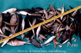 Non-stocked fish species of the Baluhar Baor