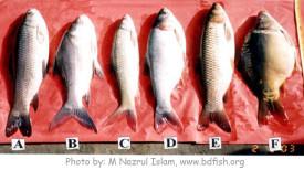 Stocked fish species of the Baluhar Baor