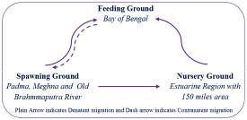 Movement pattern of Tenualosa ilisha (hilsa) into different habitats
